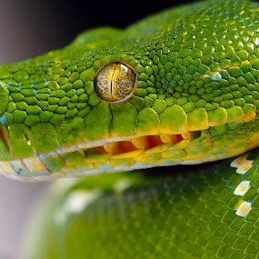 Green Snake by Ajar Setiadi - Animals Reptiles ( mammals, animals, dogs, colors, wildlife, object, beauty, landscape, #garyfongpets, birds, snakes, amphibians, portrait, eyes, cats, #showusyourpets, reptiles, color, world_is_green, filter forge,  )