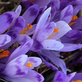 Crocuses by Claudiu Petrisor - Flowers Flowers in the Wild ( wild, crocuses, blue flower, spring, flower )