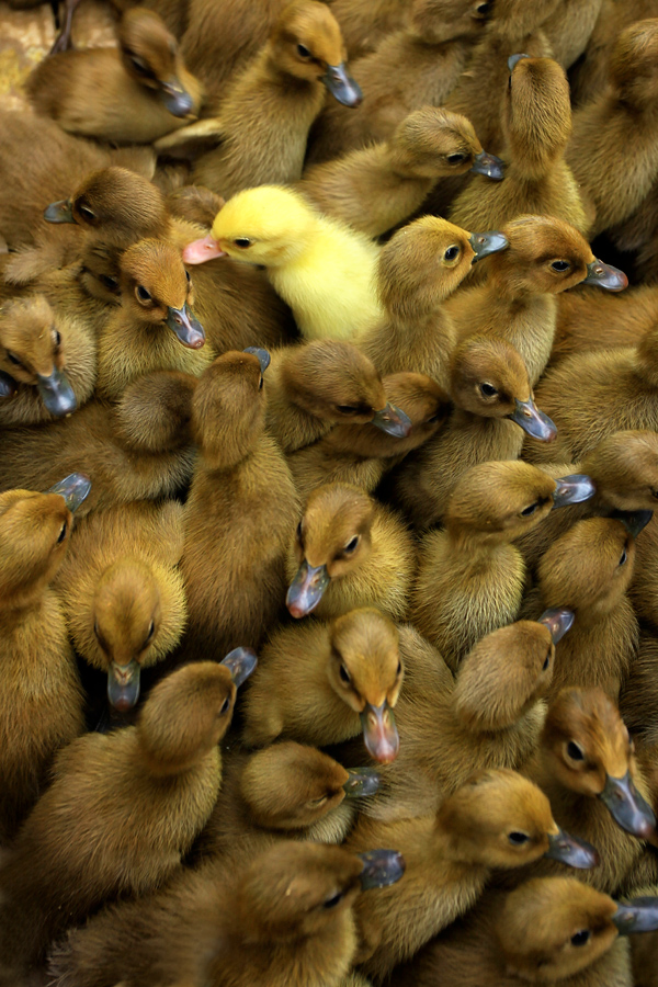 among others by Jeffry Surianto - Animals Birds ( duck, birds )