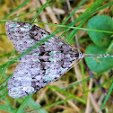 Mottled gray carpet moth
