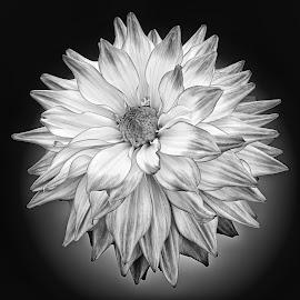 B&W flower 11 by Michael Moore - Black & White Flowers & Plants