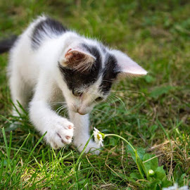 discovering the world by Dominik Lalic - Animals - Cats Playing ( playing, white flower, cat, curious, grass, white, kitty, discovery, black, flower,  )