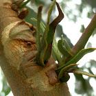 Four-winged eucalyptus gall