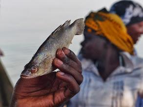 Photo: Viktoriabarsch (eigentlich Nilbarsch), der bis zu 2 m groß werden kann. 1960 wurde er erstmals im See ausgesetzt und hat sich seitdem als Raubfisch enorm zu Lasten anderer Fischarten vermehrt. So ist er zum äußerst umstrittenen Objekt geworden. Er soll zum ökologischen Desaster beigetragen haben. Vgl. dazu:  http://de.wikipedia.org/wiki/Victoriasee http://de.wikipedia.org/wiki/Darwin%E2%80%99s_Nightmare