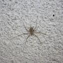 Longspinneret Spider