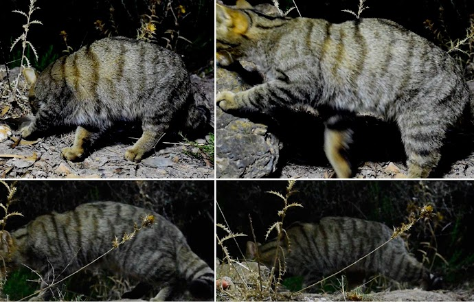 Patron de gato hembra (arriba) y macho (abajo)