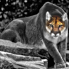 Cougar-selective color by Bruce Newman - Digital Art Animals ( selective color, nature, animal, black and white, cougar,  )