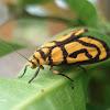Xanthetis (lichen moth)