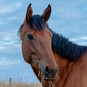 Horse by Lizzy MacGregor Crongeyer - Animals Horses ( field, chestnut, sky, hay, horse, brown,  )