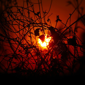 The sun goes down... by Tanmoy Debnath - Nature Up Close Trees & Bushes ( nature, sunset, twilight, sunshine, beauty, evening, dusk, light, sun, golden )