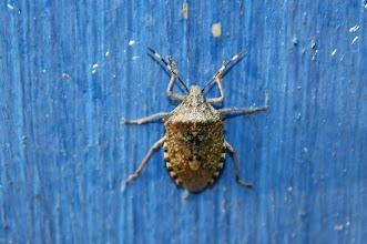 Photo: Rhaphigaster nebulosa  Heteroptera  > Pentatomidae