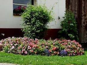 Photo: 13. Juli 2009 - Nun ist das 'Rondell' an der Scheune ganz schön hochgewachsen.