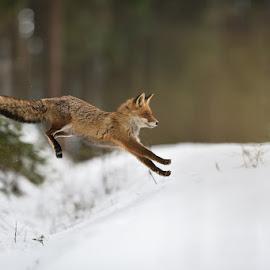 Jump by Bencik Juraj - Animals Other Mammals ( red fox, winter nature, nature, fox, jump,  )