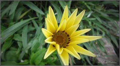 Photo: Floarea comoară, Gazania-margaretă (Gazania spp) - de pe Str. Ioan Opris - 2016.09.24