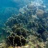 Coral de fuego aplastado