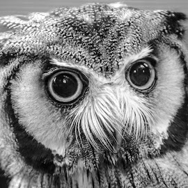 Scops by Garry Chisholm - Black & White Animals ( bird of prey, nature, owl, captive, garrychisholm )