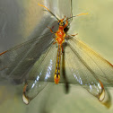 Giant Orange Lacewing