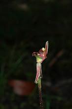 Photo: Caladenia cairnsiana (Zebra Orchid)
