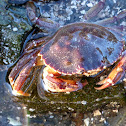 Atlantic Rock Crab