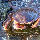 Atlantic Rock Crab