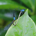 Blue riverdamsel