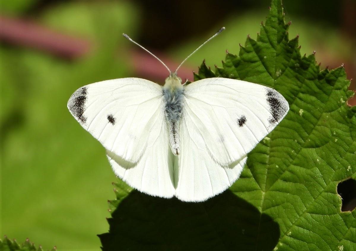 Cabbage white (male)