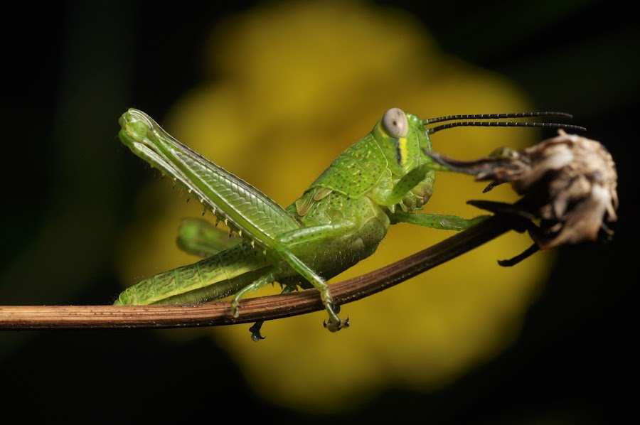 hopper by Nurman Sidiq - Animals Insects & Spiders ( animals, macro, nature, close up, grasshopper )