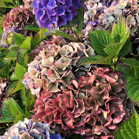 Antique Hortensias by Janet Young- Abeyta - Flowers Flower Gardens (  )
