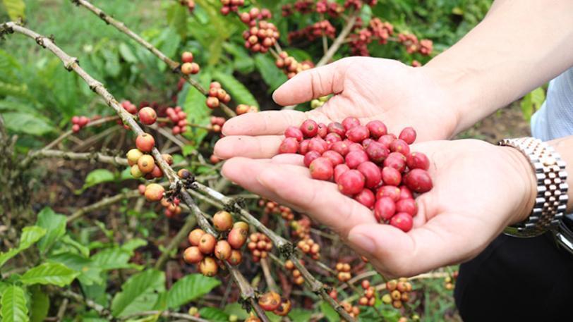 Cà phê hạt rang Arabica được chọn từ những hạt cà phê tươi ngon nhất
