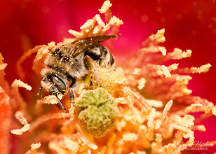 Photo: Covered in pollen, miner bee.