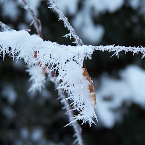 Hoar Frost II by Sean Leland - Nature Up Close Other Natural Objects ( hoar, hoar frost, ice, frost, branch, frozen,  )