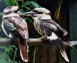 Photo: Lachender Hans (Dacelo gigas) 1 Nationalvogel Australiens