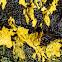 Gold leaf lichen?