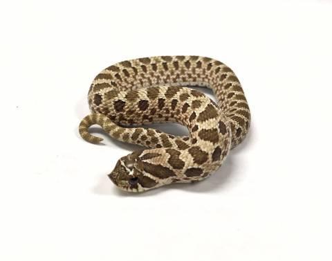 Image result for western hognose snake