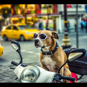 Cool dog on motorbike by Mohamed Alzwei - Animals - Dogs Portraits ( cool, animals, bike, istanbul, dog )