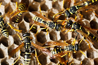 Photo: I'm seeing a lot of #MacroMonday posts today, great stuff everyone keep them coming!  Here's a macro of mine from a couple of weeks ago of some paper wasps hard at work on their nest. I had to get a bit close for comfort for this shot and it didn't help that their nest was deep inside a prickly pear cactus plant. Fortunately I managed to escape from both the wasps and cactus unscathed.