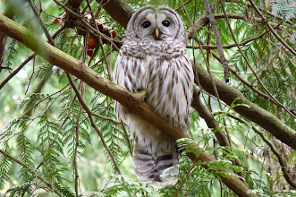 "Photo: The Barred Owl has a variety of calls but it's best known one is ""Who cooks for you? Who cooks for you-all?"":  http://www.allaboutbirds.org/guide/barred_owl/sounds"