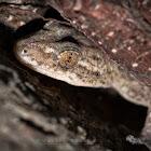 Asian House Gecko