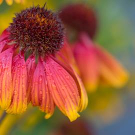 flower by Fabienne Lawrence - Uncategorized All Uncategorized ( flowers, nature, flower )