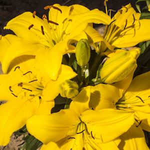 Yellow_Lilies.jpg