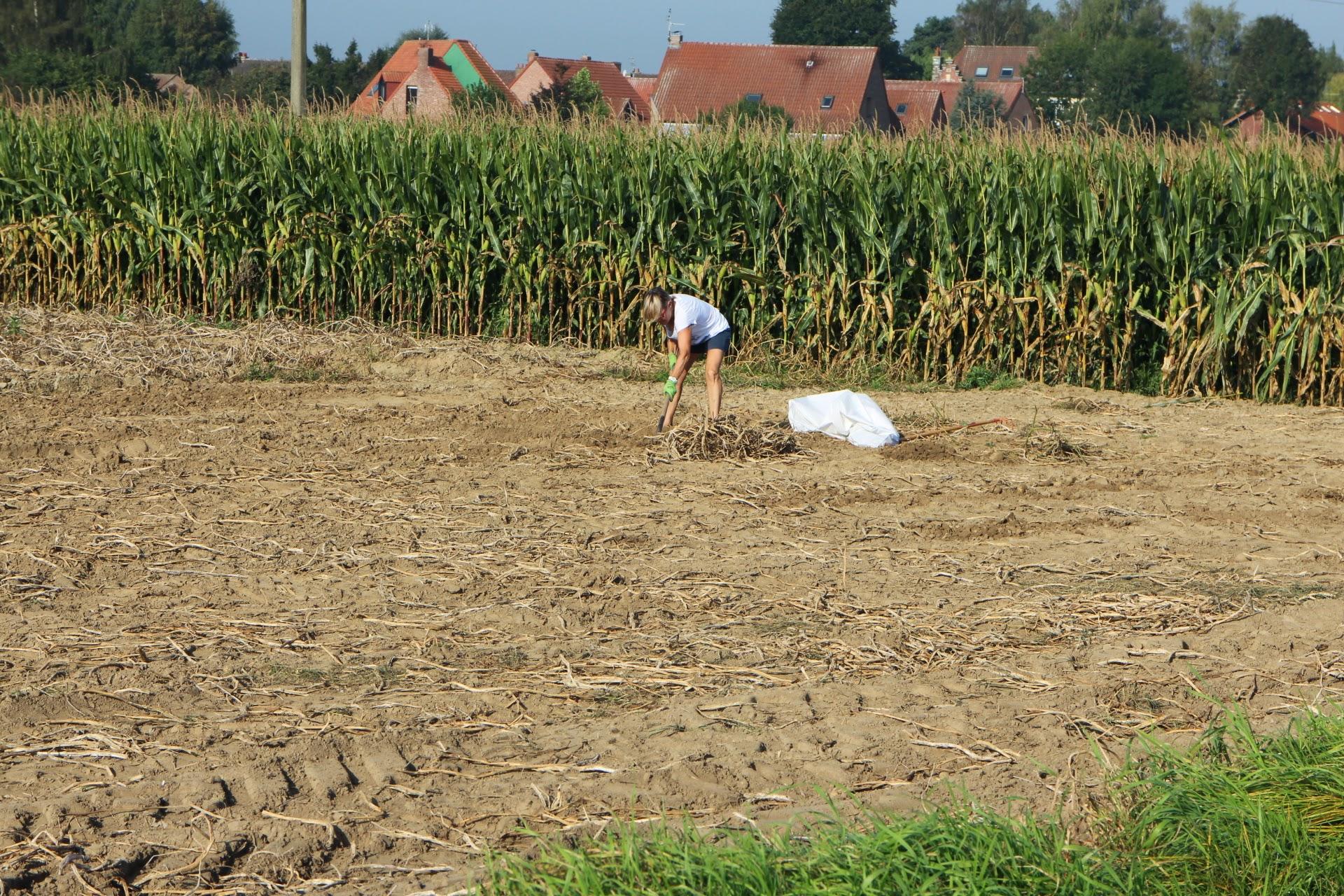 Photo: aardappels zoeken op gerooid veld