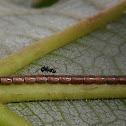 Leaf-footed bug eggs