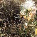 Western whorled milkweed