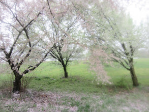 Photo: Pear and apple trees in the rain at Eastwood Park in Dayton, Ohio.