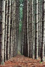 Photo: Cathedral de Pinus resinosa