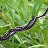 Red-spotted Garter Snake