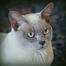 Lilac Burmese Cat by Caroline Beaumont - Animals - Cats Portraits ( lilac burmese cat,  )