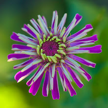 Photo: Purple and Green Pop - An archive photo from 8 years ago at the Farm at South Mountain, Phoenix, Arizona.  I still don't have an ID on these flowers, ideas?