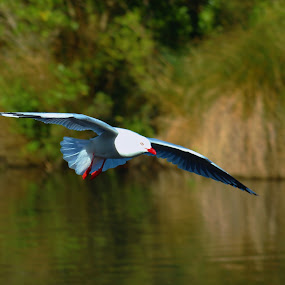 Gliding in by Russell Benington - Animals Birds ( bird, flight, seagull, wings, feathers,  )