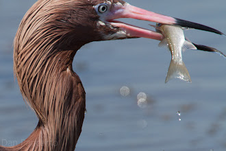 Photo: Reddish Egret Canopy Hunting